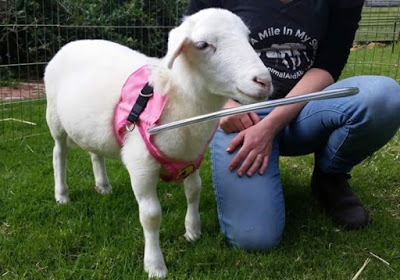 Pearl a blind sheep wearing a Halos For Paws vest